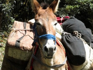 pack mule